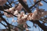 сакура, цветение, магнолия, фестиваль