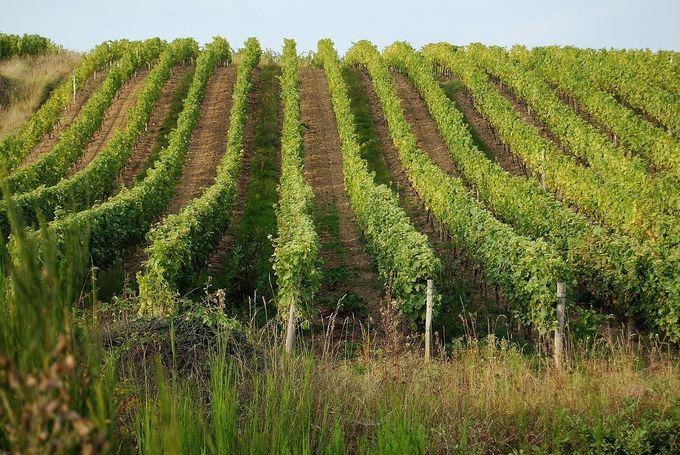 vineyards-702985_1280