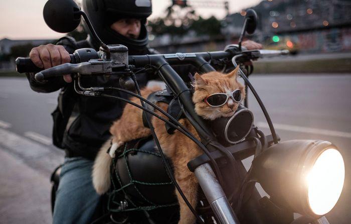 Байкер со своим 12-летним котом Шикиньо, который всегда сопровождает его на мотоцикле. Рио-де-Жанейро, 19 июня 2016 года. Фото: YASUYOSHI CHIBA/AFP/Getty Images