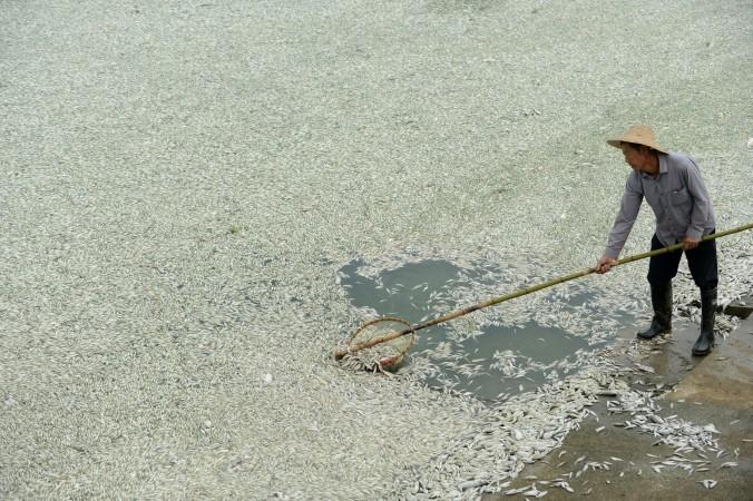 Житель извлекает мёртвую рыбу из реки Фухэ в Ухане, Китай, сентябрь 2013 года. На Weibo сообщалось, что рыба погибла из-за высокого уровня аммиака в воде. Фото: STR/AFP/Getty Images