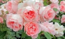 В «Розовом вальсе»