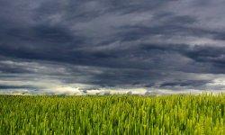 поле, облака, пшеница, гмо