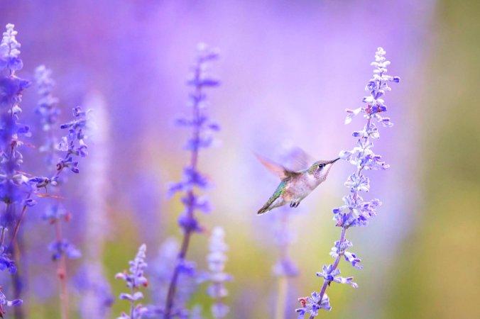 лаванда, трава, колибри