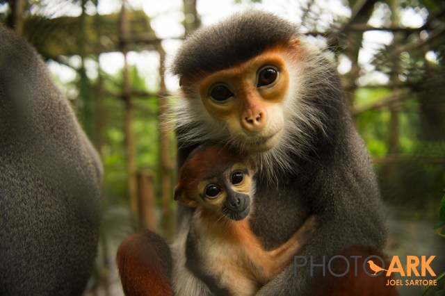 Red-shanked douc langur chosen as Da Nang city's new mascot