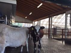 June-es-cow