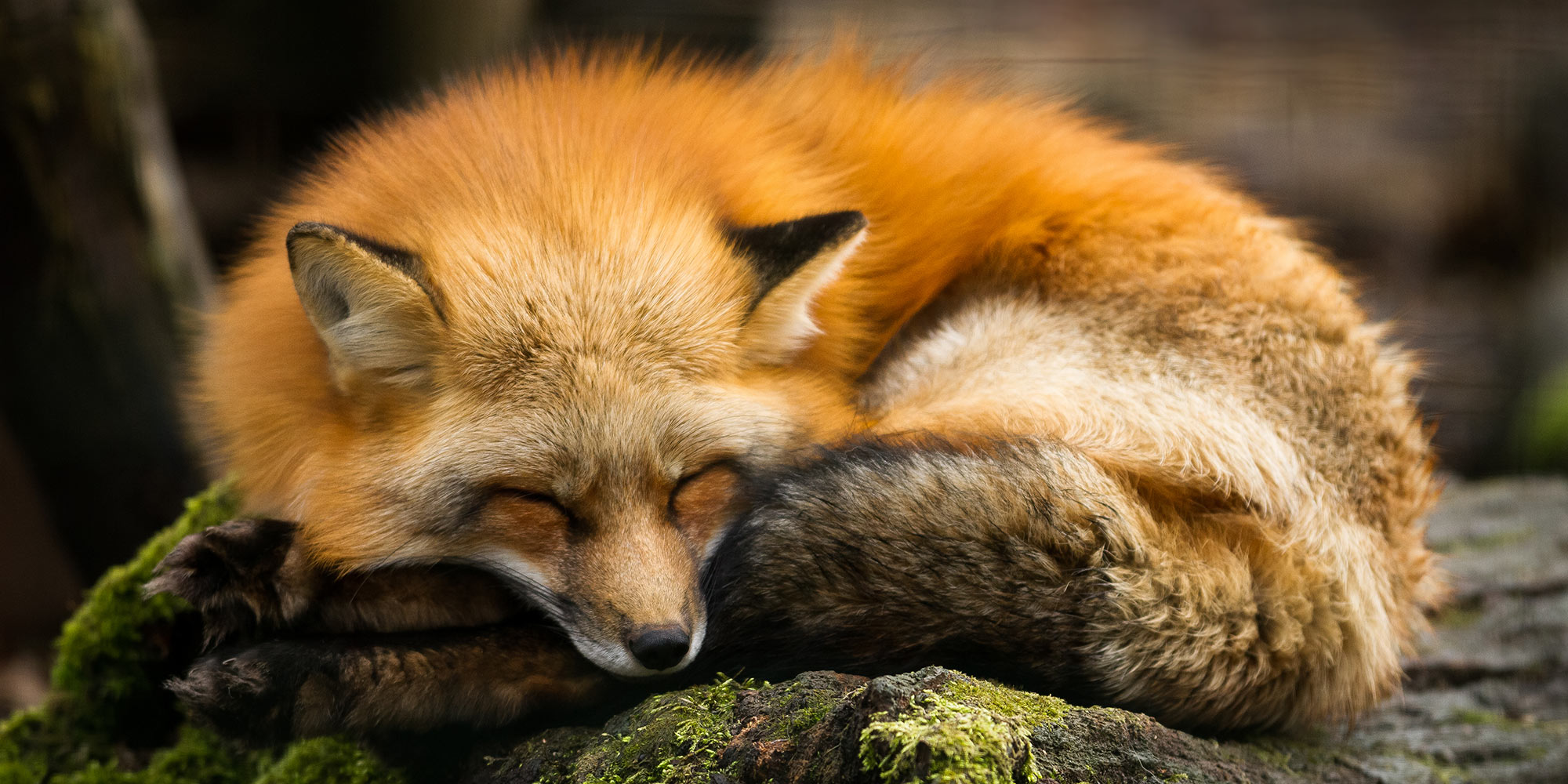EQ Graphics | Photography of a Fox Sleeping on a Log in the Forest