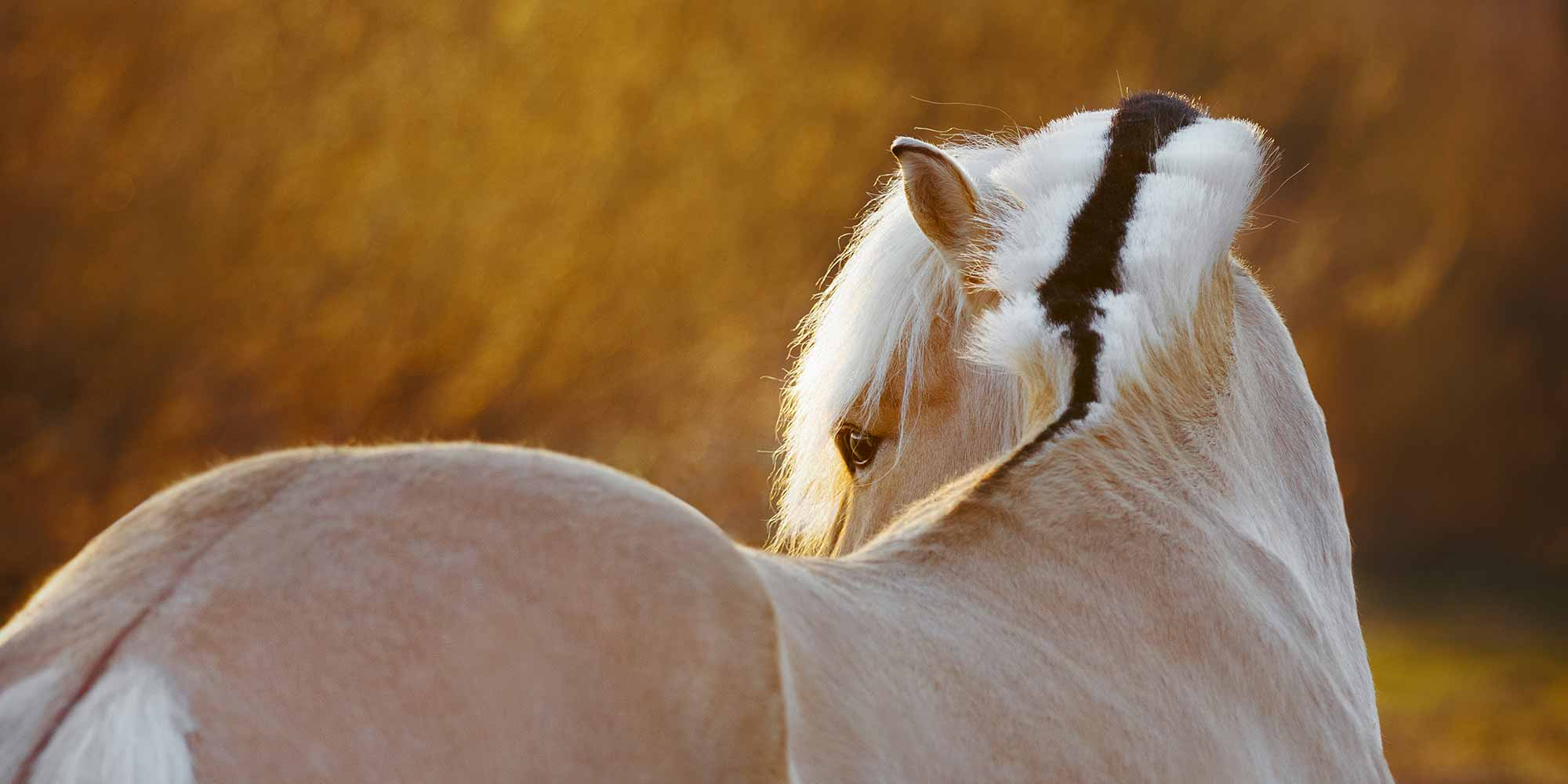 EQ Graphics | Beautiful Norwegian Fjord Horse Looking Back Over Shoulder At Sunset