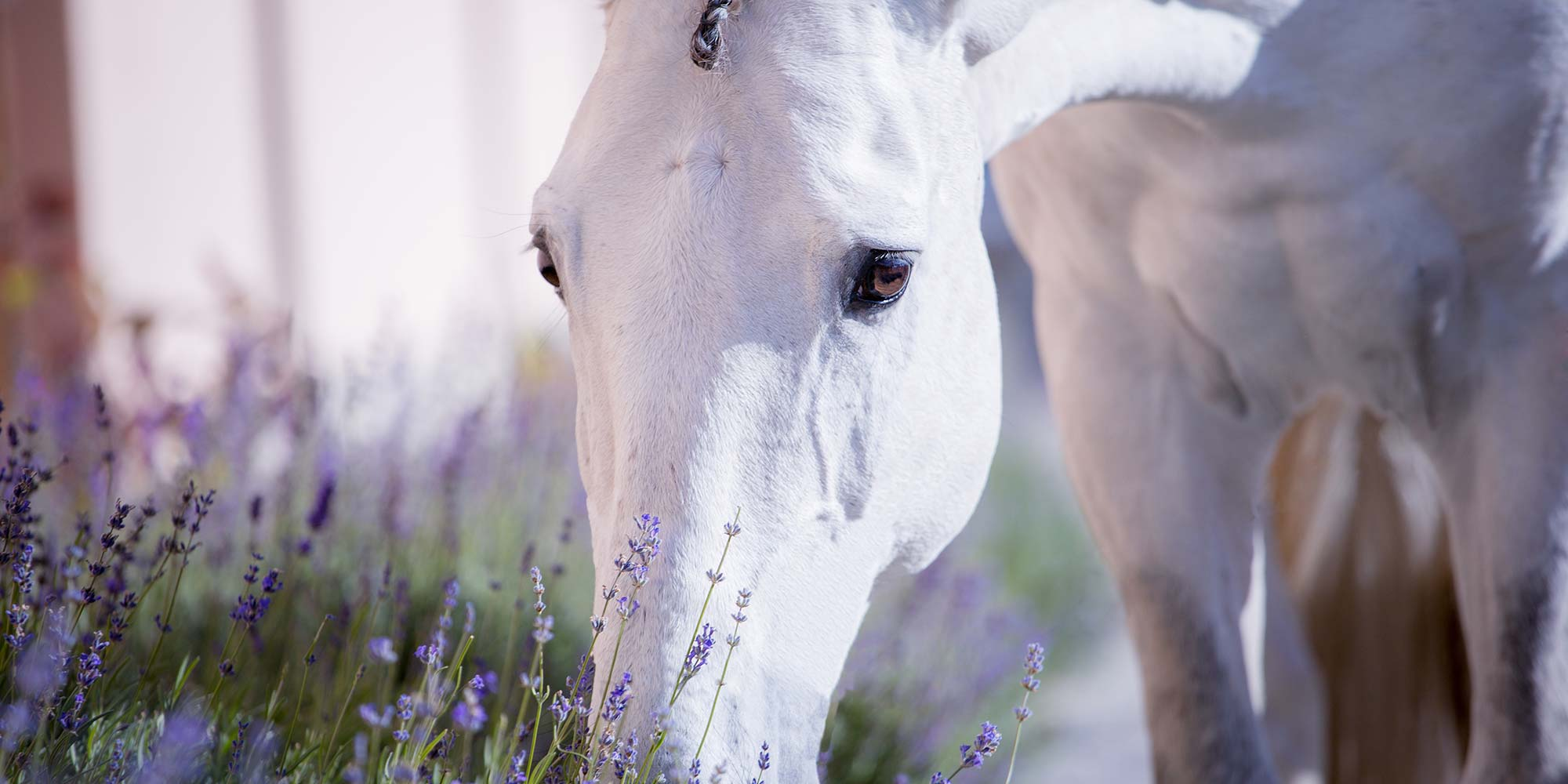 EQ Graphics | White Horse Smelling Lavender Flowers