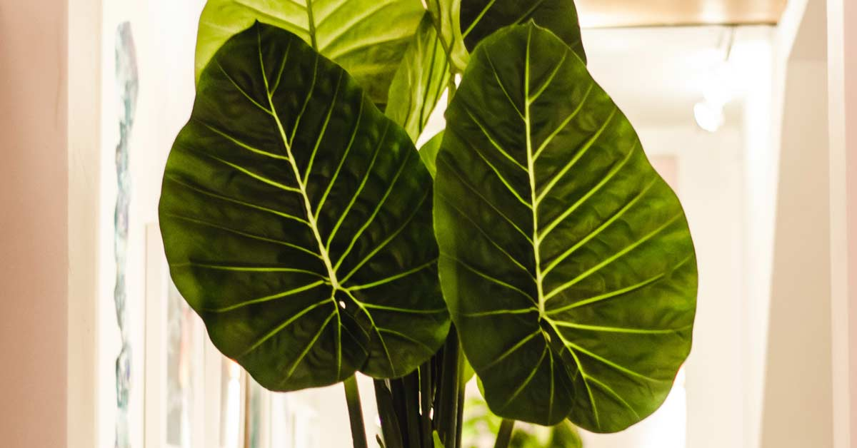 Beautiful big green leaves of a house plant