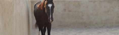 Videos of Marwari horses