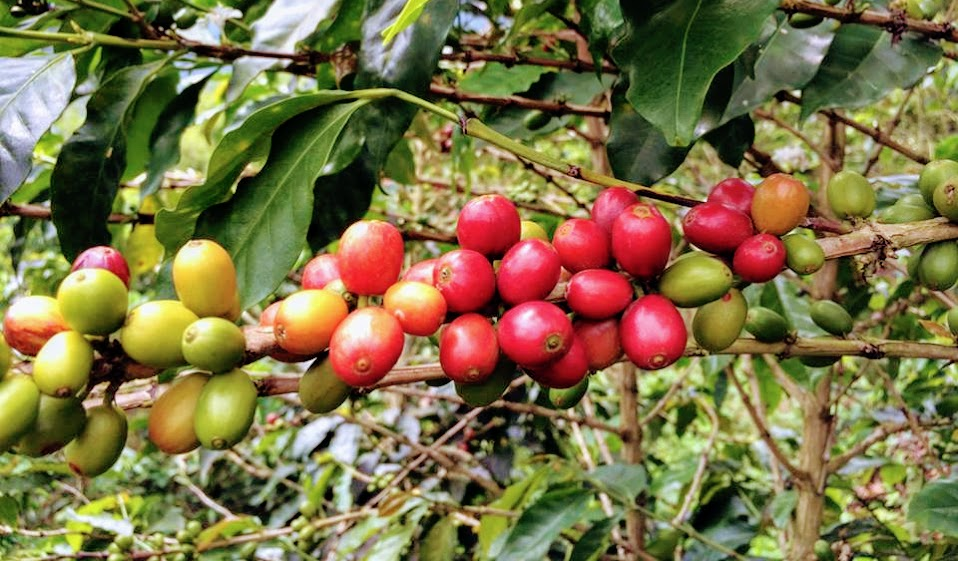 "Equiano Coffee Company's New ""Gesha"" Varietal Coffee from Colombia"