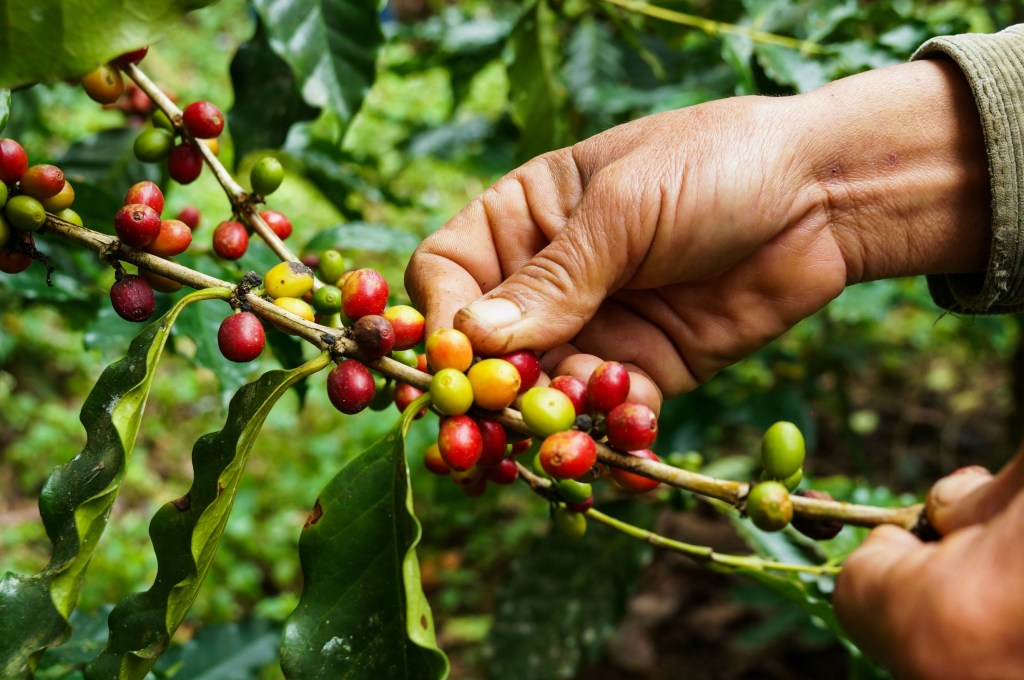 Coffee cherries usually contain two seeds.