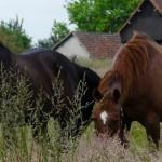 chevaux dans le cher