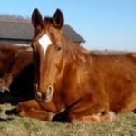 cheval couché