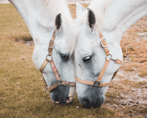 """""""I have used Myofortil on clients' horses and my older dressage horse–it has noticeably helped their performance by adding muscle and improving endurance.  My 19 year old looks a decade younger than he is! I've been extremely pleased with Myofortil and will continue to use it in the future.""""  – Becca Black"""