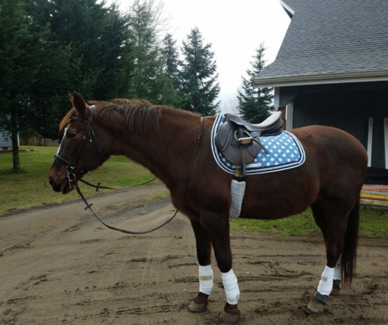 """I wanted a supplement that had simple, clean ingredients that wouldn't interfere with her specifically balanced diet.  It has made an amazing difference in the continued athleticism of my [29-year-old]  mare! I would recommend Haemoxil for any horse suffering from a lack of energy, thriftiness, or in recovery from illness.  My horse has a shiny coat, is perky and happy, completes her regular workouts with ease and she absolutely loves the taste."" – Cynthia Whaley"