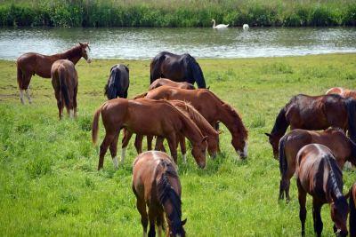 In der freien Natur grasen Pferde 16 Stunden am Tag mit gesenktem Kopf