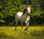Norweger-Fjordpferd-Wiese-Blumen