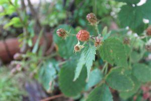 Frutti rossi coltivazione
