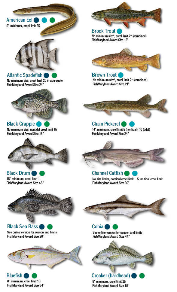 Identification Fish Virginia Chart