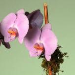 _lavender_orchid2