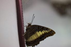 butterfly at Smithsonian - 2017-04-22T10:27:27 - 048