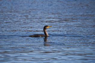 Eagles at Conowingo Dam - 2018-01-01T11:43:21 - 664