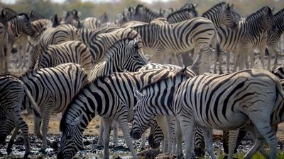 zebras-etosha-national-park-1