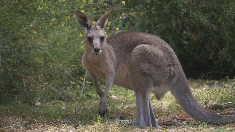 Kangaroo at the Anglesea Golf Course