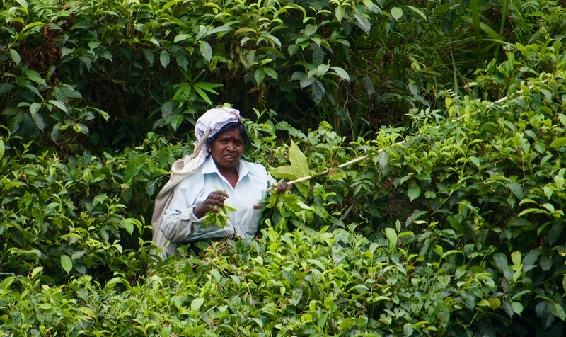 Tea Picker in Sri Lanka's Hill Country