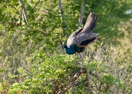 Male Peacock in Sri Lanka