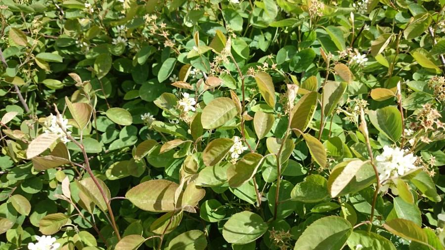 Amelanchier spicata FALUN E