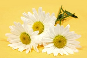 Daisies Stock Art