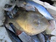 pek bilinmeyen bu domuz balığı derisi yüzülünce filetosunda kocaman eti olan balık