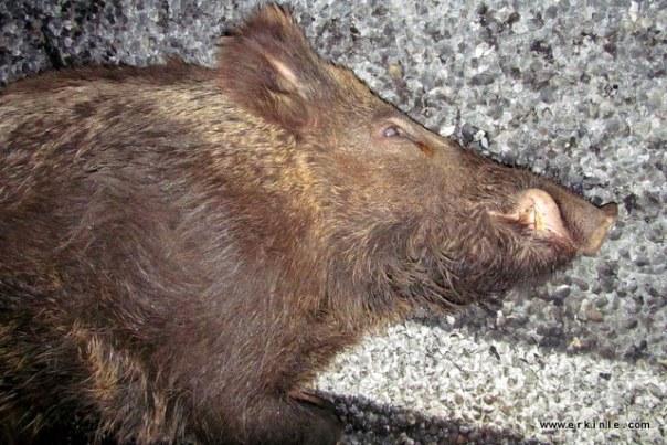 yaban domuzları tehlikeli