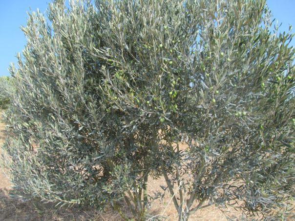 Zeytin ağaçlarına kaolin uygulanması