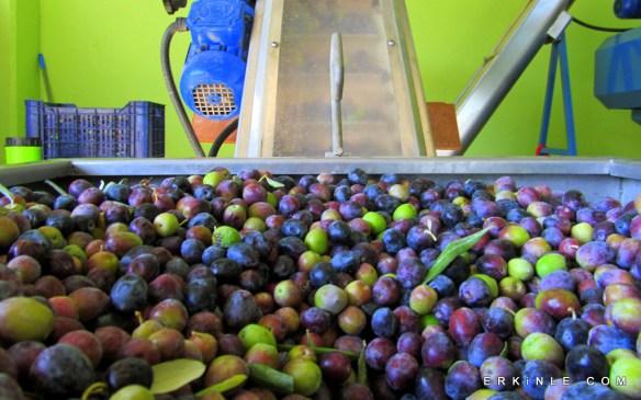 zeytin yıkama ilk aşama