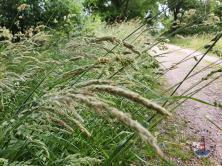 Gräser am Wanderweg in der Oberalsterniederung
