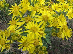Deze afbeelding heeft een leeg alt-attribuut; de bestandsnaam is 1024px-Jacobaea_vulgaris_subsp._vulgaris_flowers.jpg
