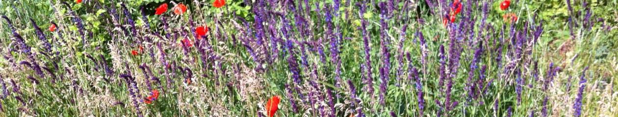Klatschmohn auf wilder Blumenwiese