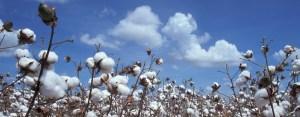 Feld mit reifer Baumwolle vor hellblauem Himmel