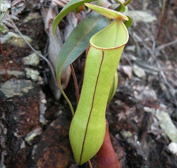 pitcher plant - nature condom