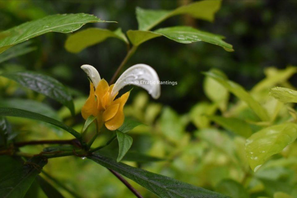 Flowers around Gitgit