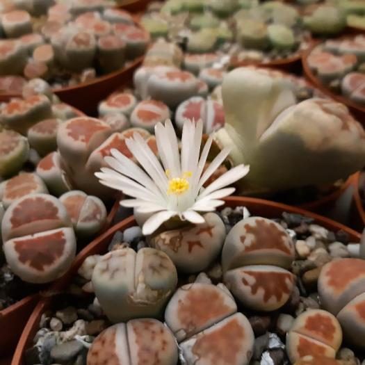 lithops - sassi viventi o piante grasse - living stones - R nel bosco