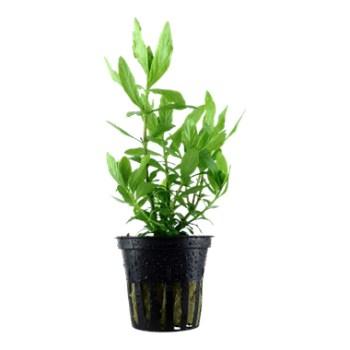 cura della pianta acquatica - consigli - R nel bosco - Hygrophila