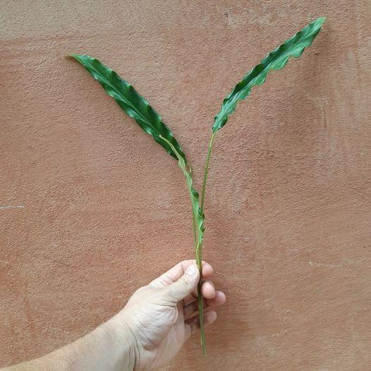 foglie vive - piante in sconto - R nel bosco