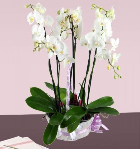 orkide sevgili yıldönümü