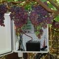 Registrador de la viña en el sur de África