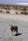 Un Coyote a Death Valley