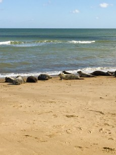 The Cute Seals at Horsey Beach